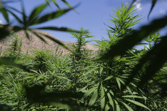 Tons of Marijuana Destroyed During Raids on Illegal Grows in Hemet Valley