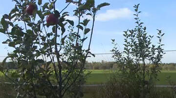 Weird News - Thieves Steal 22,000 Apples From Michigan Orchard