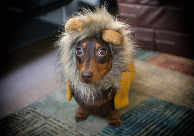 Dog in a Lion Costume