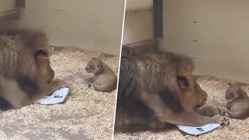 Leigh Ann and Jeremy - Papa Lion Crouches Down To Meet His Baby Cub For The First Time!