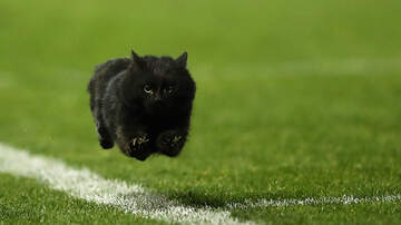 The Bus Driver - Black Cat Wanders Onto Monday Night Football Gridiron