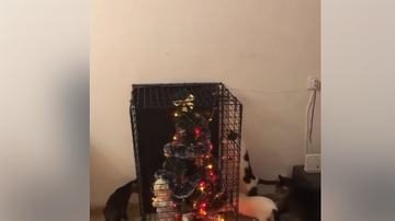 Brittany  - Cats flipping out over caged Christmas tree