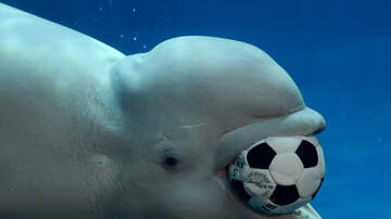Fay - This Beluga Whale Plays Catch In The WILD & It's The Cutest!