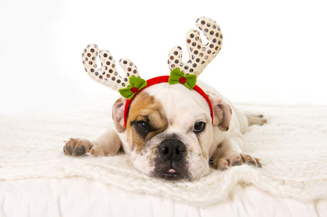 young little English Bulldog cub with Christmas reindeer horns hat