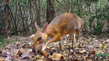 Coast to Coast AM with George Noory - Video: 'Lost' Mouse-Deer Species Rediscovered After Nearly 30 Years