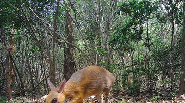 Jon Manuel's blog - An incredibly rare mouse deer was just caught on camera