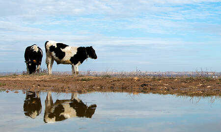 National News - Three Cows Swept Out To Sea By Hurricane Dorian Found Alive