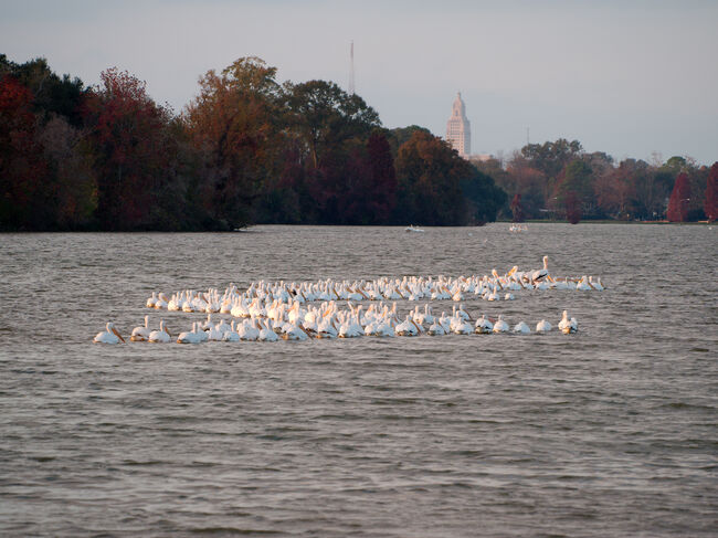 Pelicans at University lake