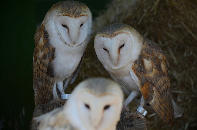 A baby Barn owl (Tyto alba) pictured with its parents at