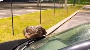 Hitman - Chicken Refuses to get off a Man's Car