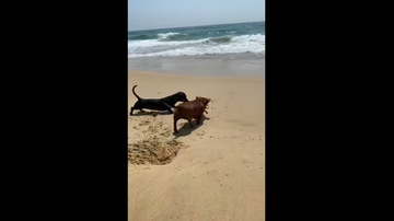 JB - ***VIDEO*** Place Your Bets: Crabby Crustacean Takes on Two Dachshunds