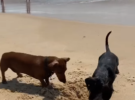 Corey & Patrick In The Morning - Who will win? The Crab...or the Curious Dachshunds?