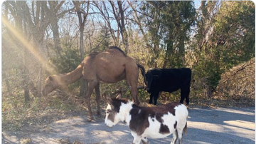 BC - Police Investigate Why A Camel, Cow And Donkey Crossed The Road