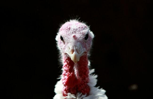 California Turkey Farm Raises Mainstay Of Thanksgiving Dinner