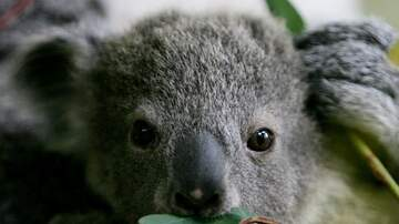 The Paul Castronovo Show - Heroic News: Woman Rescues Koala From Fire In Australia