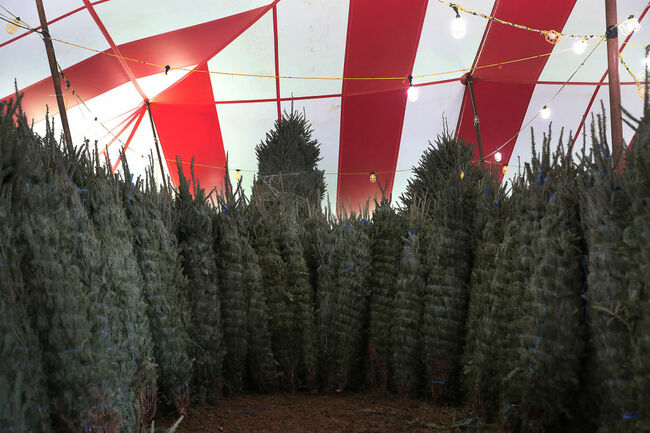 Christmas Tree Prices Higher Than In Years Past Due To National Shortage