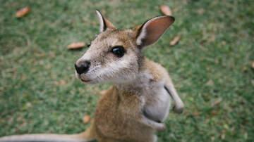 Bob Alexander - Baby Kangaroo Plays With his  Humans