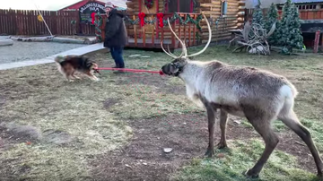 JB - ***VIDEO***  Dog Tries to Walk a Reindeer with Rope