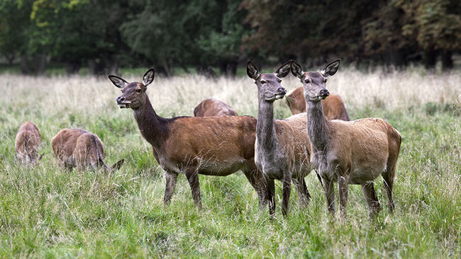 Herd of red deer hinds / females in heat grazing in grassland.