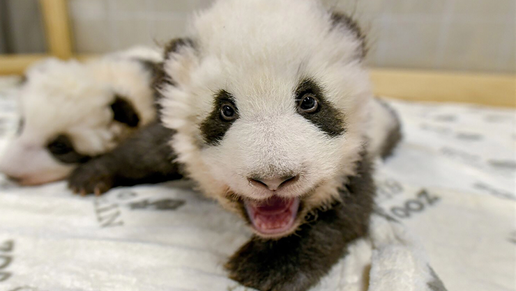 Berlin Zoo Releases Adorable New Photos Of Baby Panda Twins | iHeartRadio