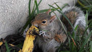 Chris Marino - Can Eating Banana Peels Help You Lose Weight?