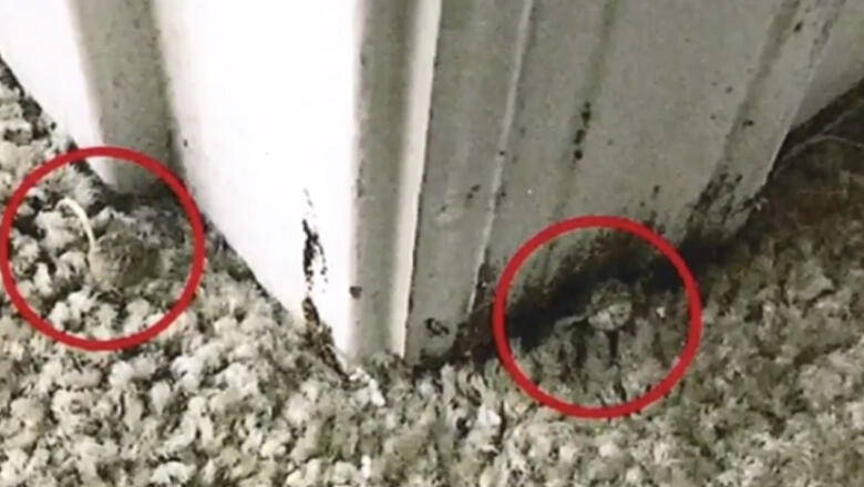 Mold Caused Mushrooms To Grow Out Of Carpet At Florida Military Housing
