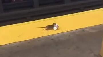 image for Rat Needs His Caffeine