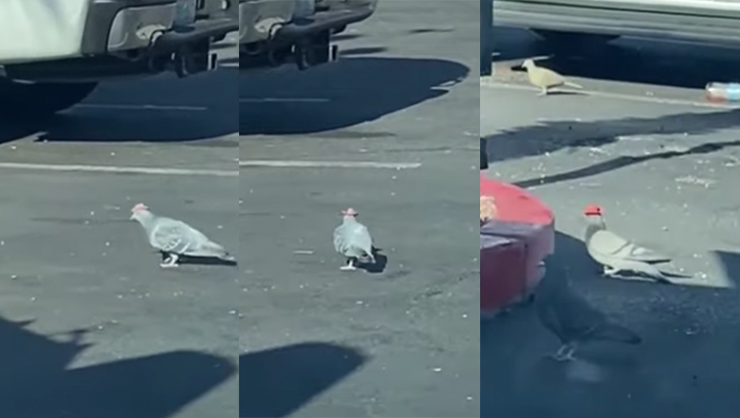 Mysterious Pigeons In Las Vegas Spotted Wearing Tiny Cowboy Hats  | iHeartRadio