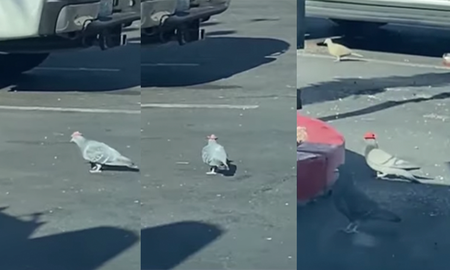 Weird News - Mysterious Pigeons In Las Vegas Spotted Wearing Tiny Cowboy Hats