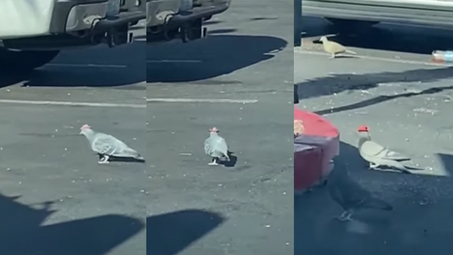 Mysterious Pigeons In Las Vegas Spotted Wearing Tiny Cowboy Hats
