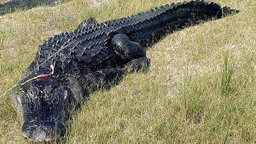 National News - Florida Man Found Partially Eaten By Alligator Died From A Meth Overdose
