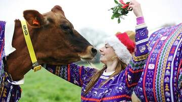 Web Girl Chelsea  - Cows In Christmas Sweaters Is What I Needed This Christmas