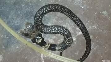 Coast to Coast AM with George Noory - Video: 'Mythological' Two-Headed Snake Captivates Indian Village
