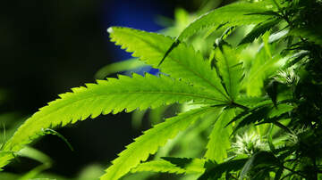 The Big Show - The legal hemp industry still has its challenges for growers