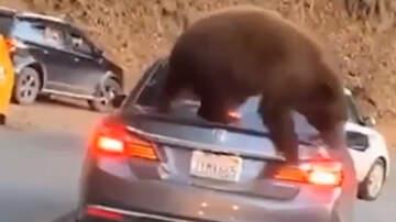 Bill Cunningham - Video Captures Bear Climbing On Trunk Of Car Stuck In Traffic