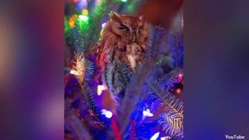 Coast to Coast AM with George Noory - Family Finds Owl in Their Christmas Tree