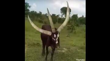 Coast to Coast AM with George Noory - Watch: Bizarre Three-Horned Cow Spotted in Uganda