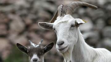 Kenny Young - Local Farms Seek Christmas Trees To Feed Their Goats