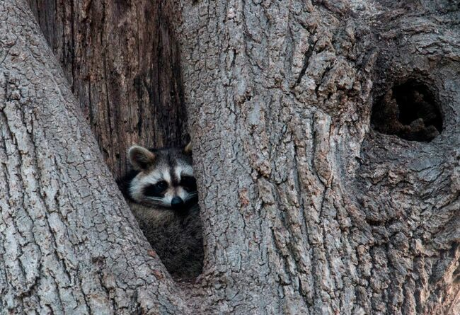New York Subway Raccoon Gets Returned To The Wild