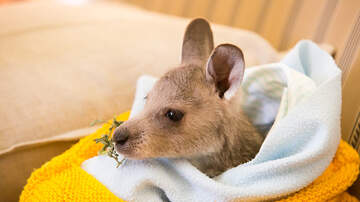 Michelle Buckles - Volunteers Sewing Pouches For Orphaned or Injured Kangaroos, Koalas & Bats