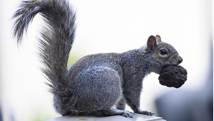 Squirrel Causes $150,000 Worth Of Damage, Insurance Company Won't Cover It | iHeartRadio