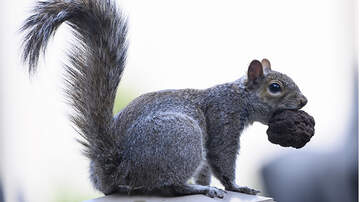 Weird News - Squirrel Causes $15,000 Worth Of Damage, Insurance Company Won't Cover It
