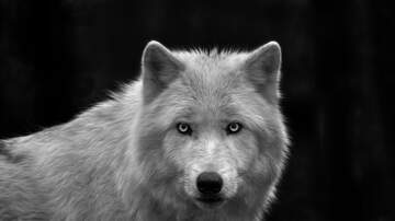 image for Reports of Wolves in Colorado