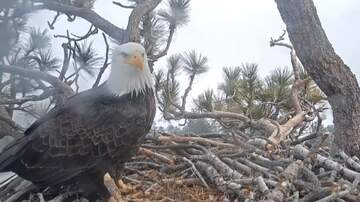 Jake Dill - First Bald Eagle Egg of the Season Spotted in Big Bear