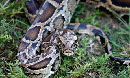 Florida News - Python Bowl Winner: They're wiping out all of our native mammals
