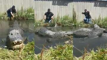 Suzette - Man Tugs On Giant Alligator Tail For Fun & Has A Very Close Call