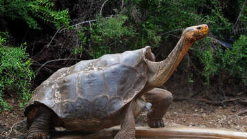 San Diego - Horny 100 Year Old Turtle From San Diego Helped Save His Species