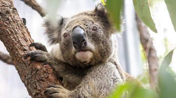 Lisa Foxx - Zoo Names Baby Koala 'Hope' And Donates To Australia