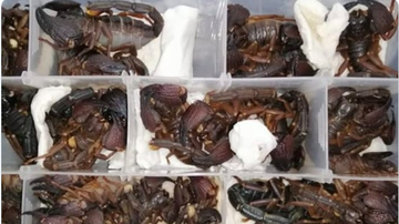 BC - Scorpions On A Plane! 200 Venomous Arachnids Found In Passenger's Luggage