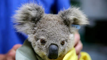 Fred And Angi - WATCH: Rescue Center For Koalas Injured In Bushfires